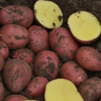 """Sadbové zemiaky ružiaky stredne skoré na uskladnenie """"BALTIC ROSE"""""""