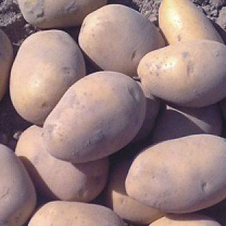 """Sadbové zemiaky žlté stredne skoré na uskladnenie """"SORAYA"""""""