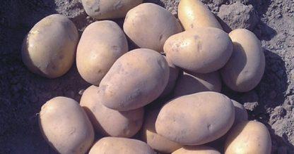 """Sadbové zemiaky žlté stredne skoré """"SORAYA"""""""
