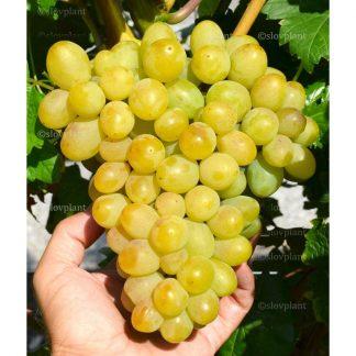 GALACHAD rezistentný stolový vinič, 2 l kontajner
