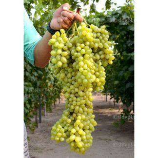 LORUS® bezsemenný stolový vinič, 2 l kontajner