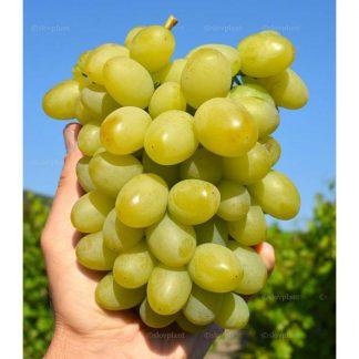 MARUSJA rezistentný stolový vinič, 2 l kontajner