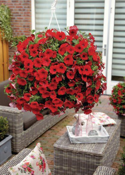 "Petunia Surfínia ""Deep Red"""