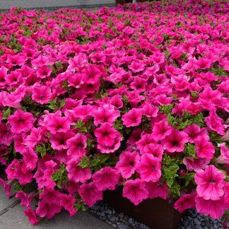 """Petunia Surfínia """"Hot Pink"""""""