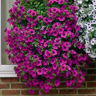 "Petunia Surfínia ""Purple"""