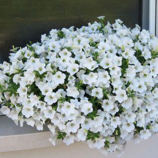 """Petunia Surfínia """"Table White"""""""