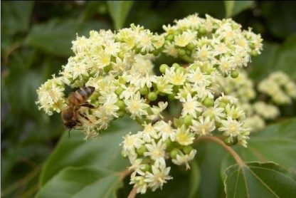 Evodia hupehensis – Včelí strom 2 l kontajner