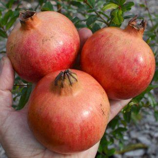 "Granátové jablko ""MOLLAR DE ELCHE"" 2l kontajner"