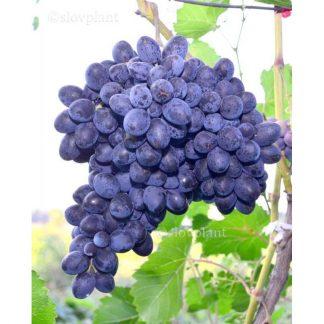 PREZENT rezistentný stolový vinič, 2 l kontajner
