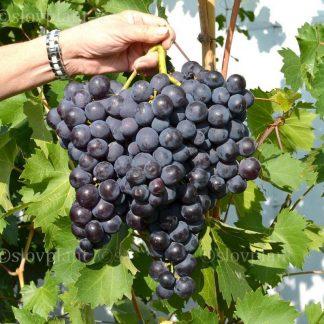 ROŠFOR  rezistentný stolový vinič, 2 l kontajner