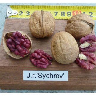 """Orech červený samoopelivý """"SYCHROV"""", semenáč, voľnokorenné"""