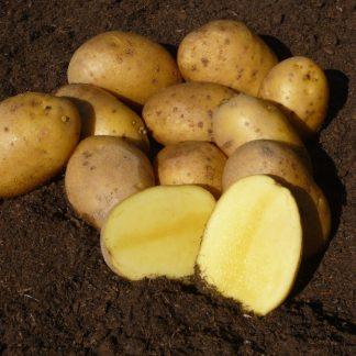 """Sadbové zemiaky žlté stredne skoré na uskladnenie """"AGRIA"""" 25 kg"""