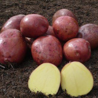 """Sadbové zemiaky ružiaky stredne skoré na uskladnenie """"RED ANNA"""" 25 kg"""