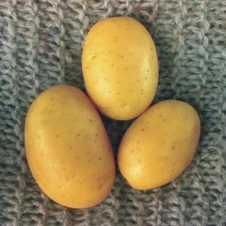 """Sadbové zemiaky žlté veľmi skoré """"SALOME"""" 5 kg"""