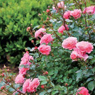 Ruža kríková veľkokvetá rôzne farby