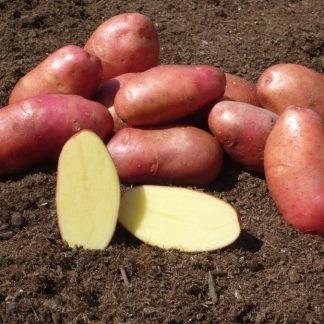 """Holandské sadivo zemiakov """"RED SCARLETT"""" ružiak, veľmi skorá, varný typ B, cca 1 kg"""