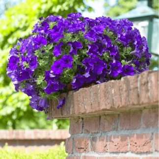 "Petunia Surfínia ""Giant Blue"""