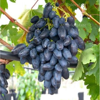 REMBO rezistentný stolový vinič, 2 l kontajner