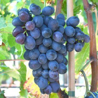 JUPITER rezistentný bezsemenný stolový vinič, 2 l kontajner