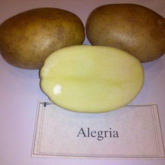 """Sadbové zemiaky stredne skoré(poloskoré) na uskladnenie """"ALEGRIA"""""""