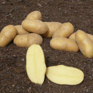 """Sadbové zemiaky žlté stredne skoré na uskladnenie """"DITTA"""" 25 kg"""