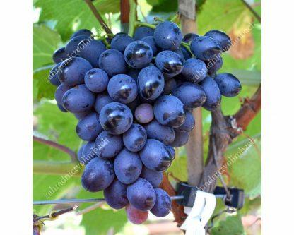 BOGATYR rezistentný stolový vinič, 2 L kontajner
