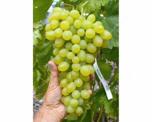 MONBLAN rezistentný stolový vinič, 2 L kontajner
