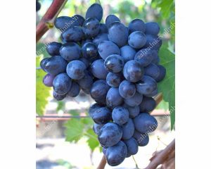 RUSLAN rezistentný stolový vinič, 2 L kontajner